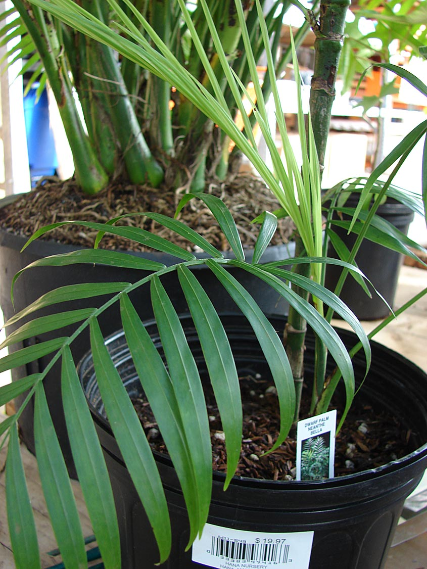 Identifying Commonly Cultivated Palms