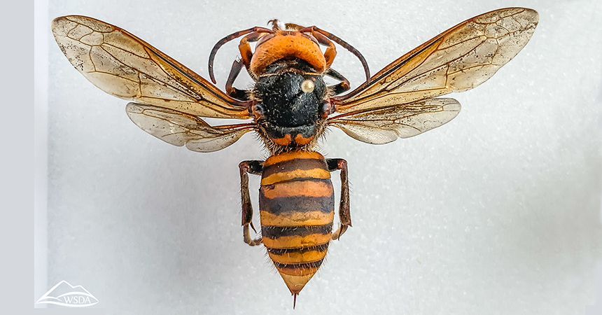 Asian giant hornet (Vespa mandarinia), Washington State Department of Agriculture, flickr, https://creativecommons.org/licenses/by-nc/2.0/