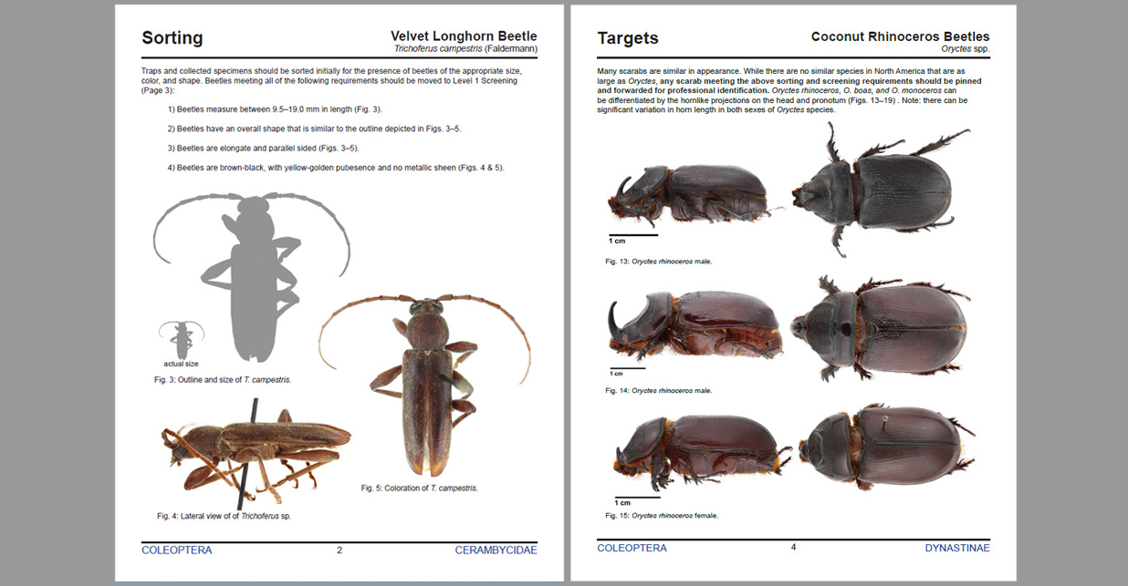 Selected pages from two screening aids: sorting page in velvet longhorn beetle screening aid (left), and photos of targets from coconut rhinocerus beetles screening aid (right)