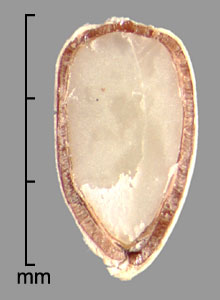 embryo seen in longitudinal section of achene