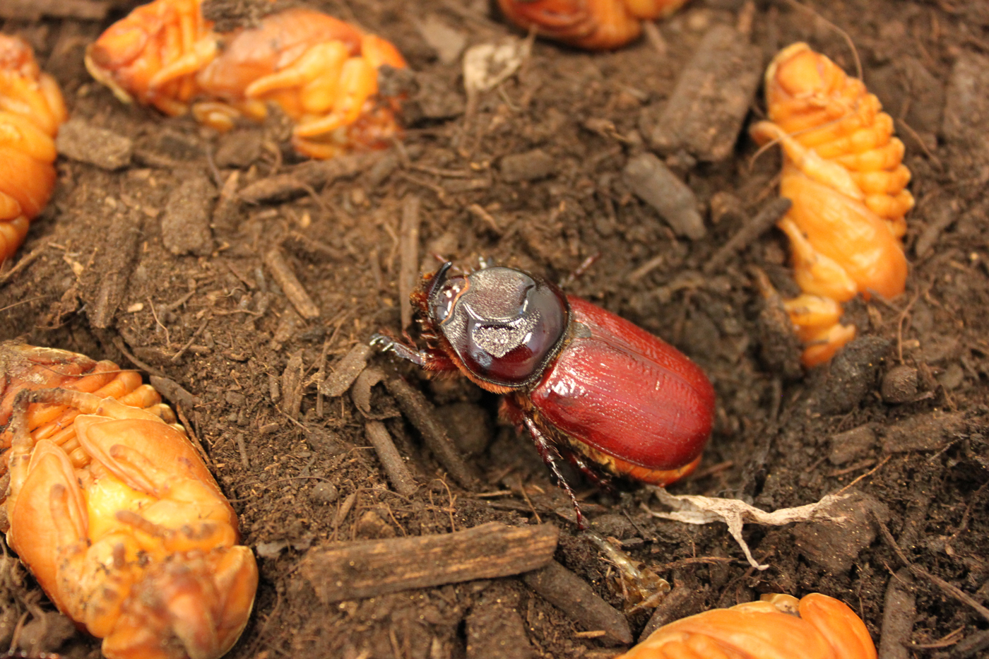 newly emerged Oryctes rhinoceros surrounded by pupae; photo by E.L. Engasser