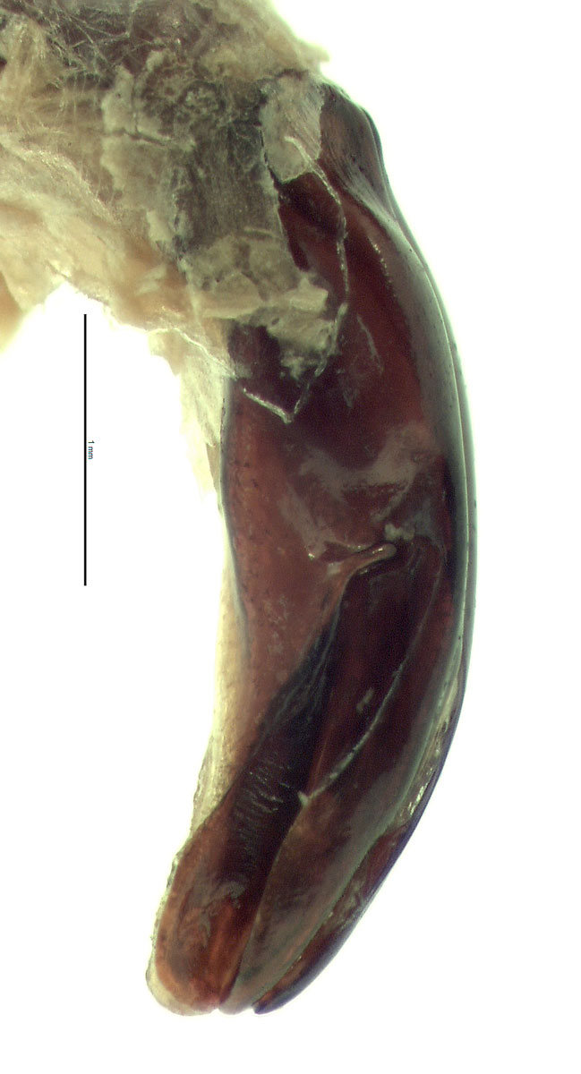 Protaetia fusca male genitalia, lateral view of left side; photo by E.L. Engasser