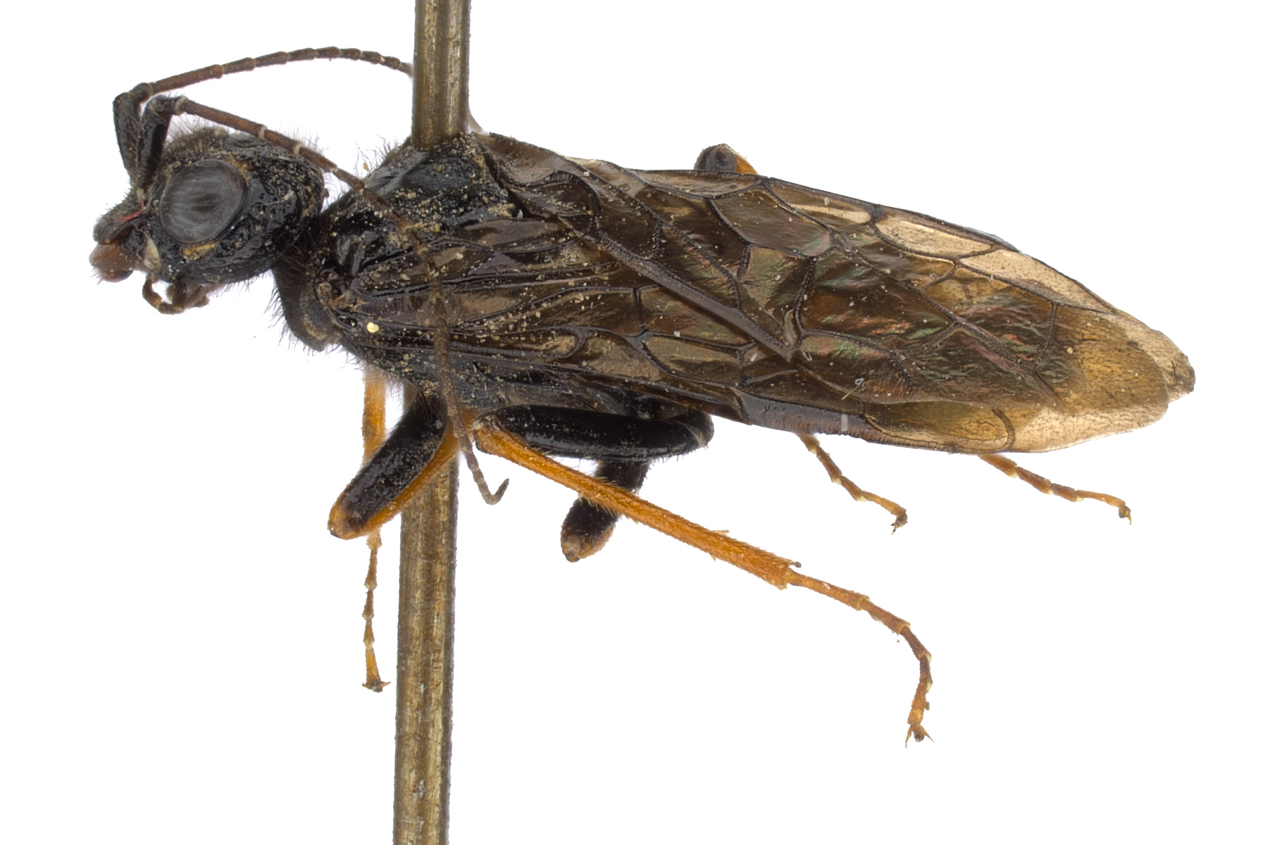 <em>Acantholyda atrata</em> male lateral habitus; photo by J. Orr, WSDA