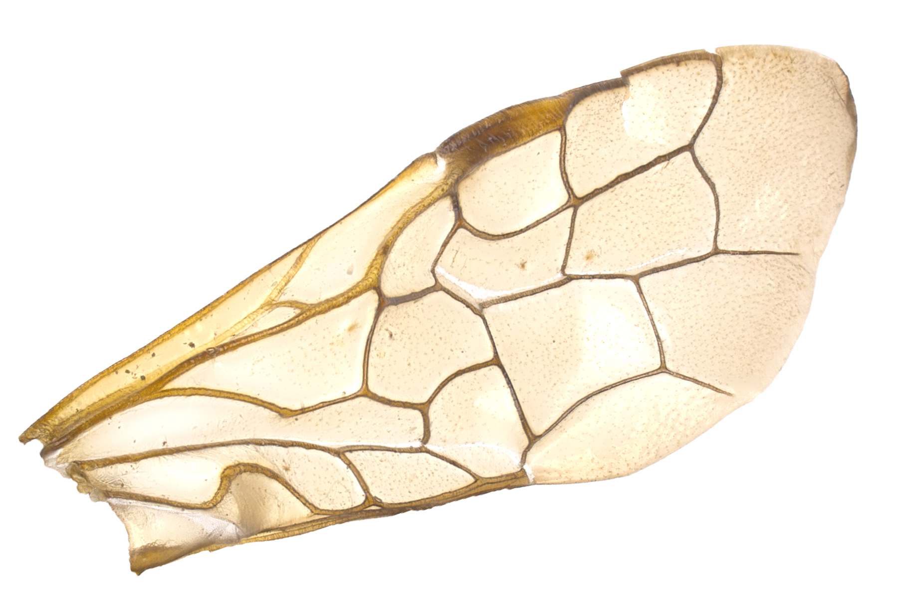 <em>Acantholyda bucephala</em> fore wing; photo by J. Orr, WSDA