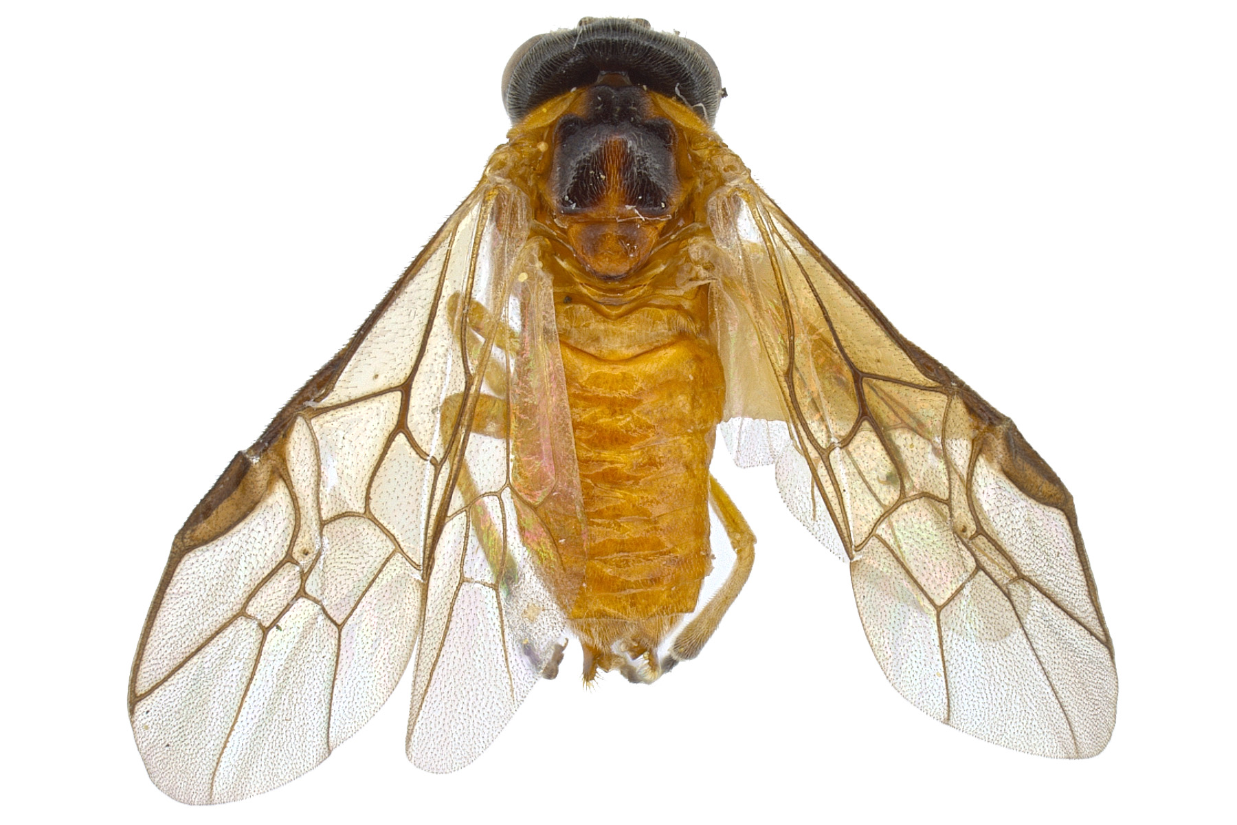 <em>Acordulecera dorsalis </em>female dorsal habitus; photo by J. Orr, WSDA