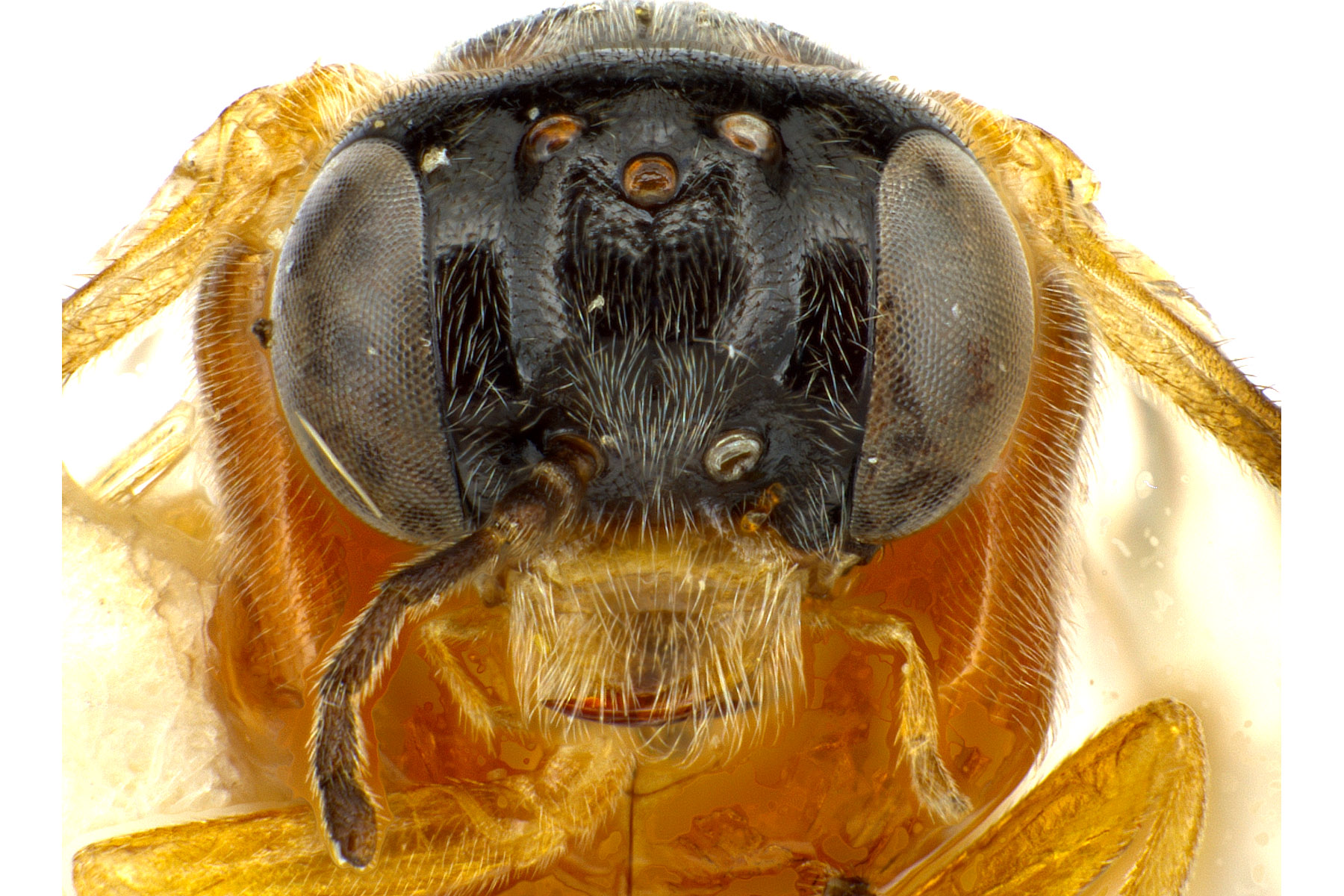<em>Acordulecera dorsalis</em> female face; photo by J. Orr, WSDA