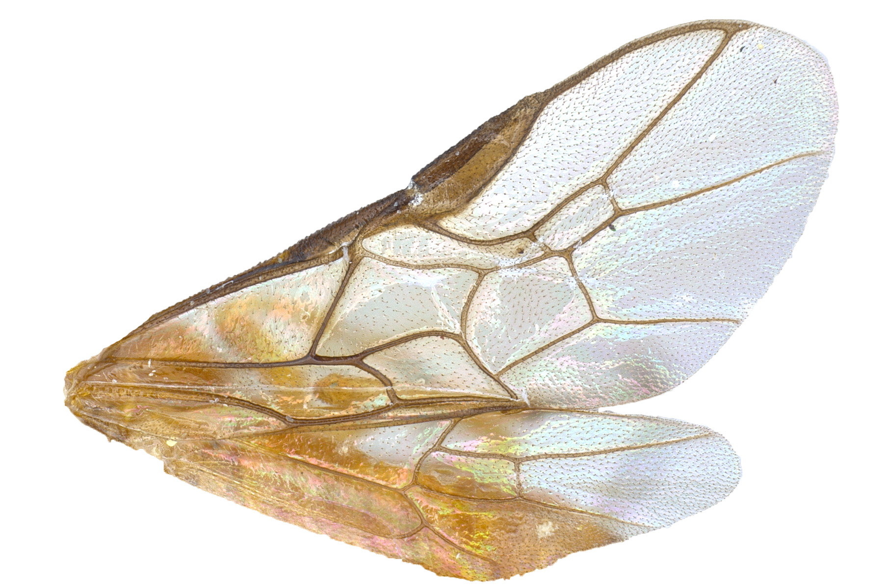 <em>Acordulecera dorsalis</em> wings; photo by J. Orr, WSDA