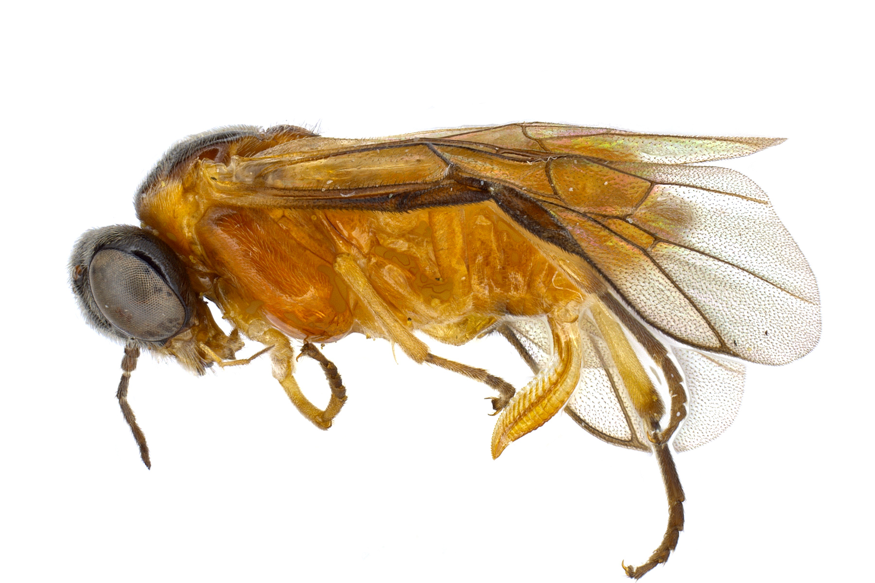 <em>Acordulecera dorsalis</em> female lateral habitus; photo by J. Orr, WSDA