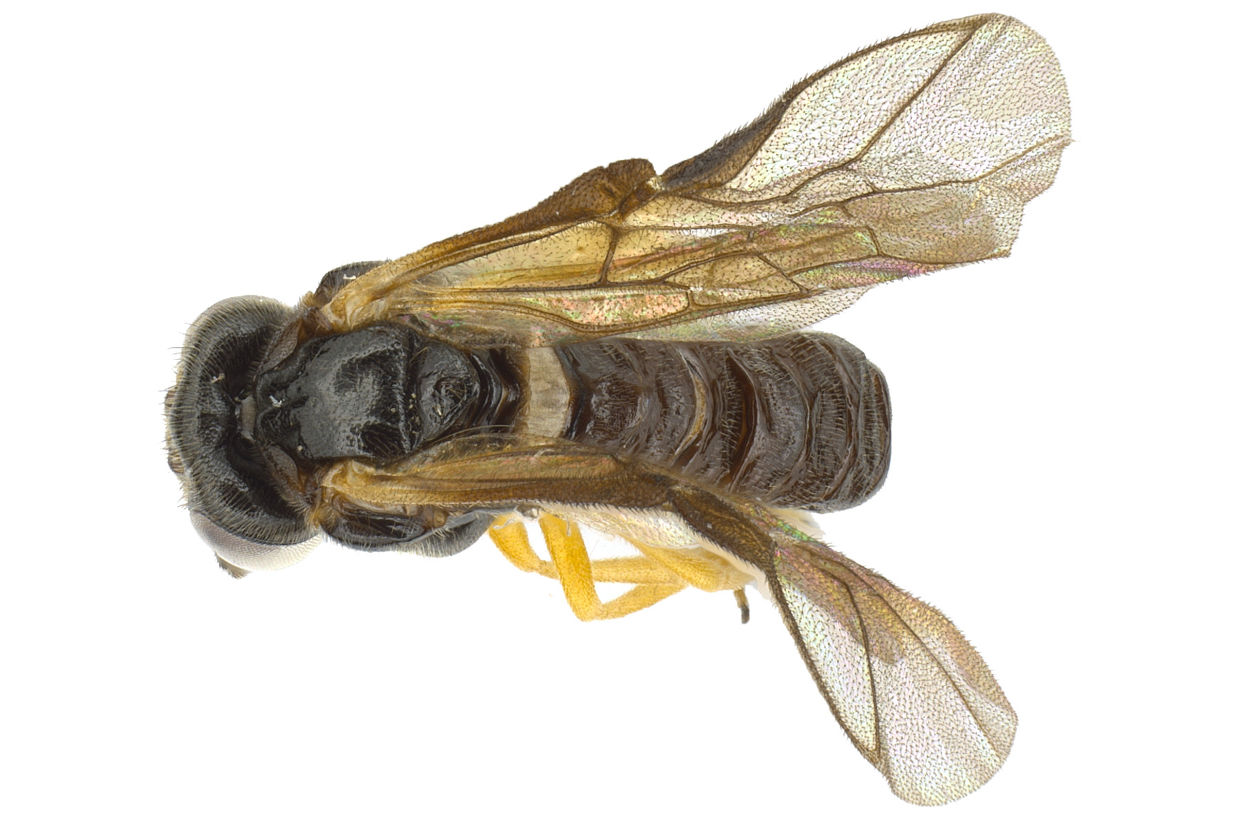 <em>Acordulecera dorsalis</em> male dorsal habitus; photo by J. Orr, WSDA