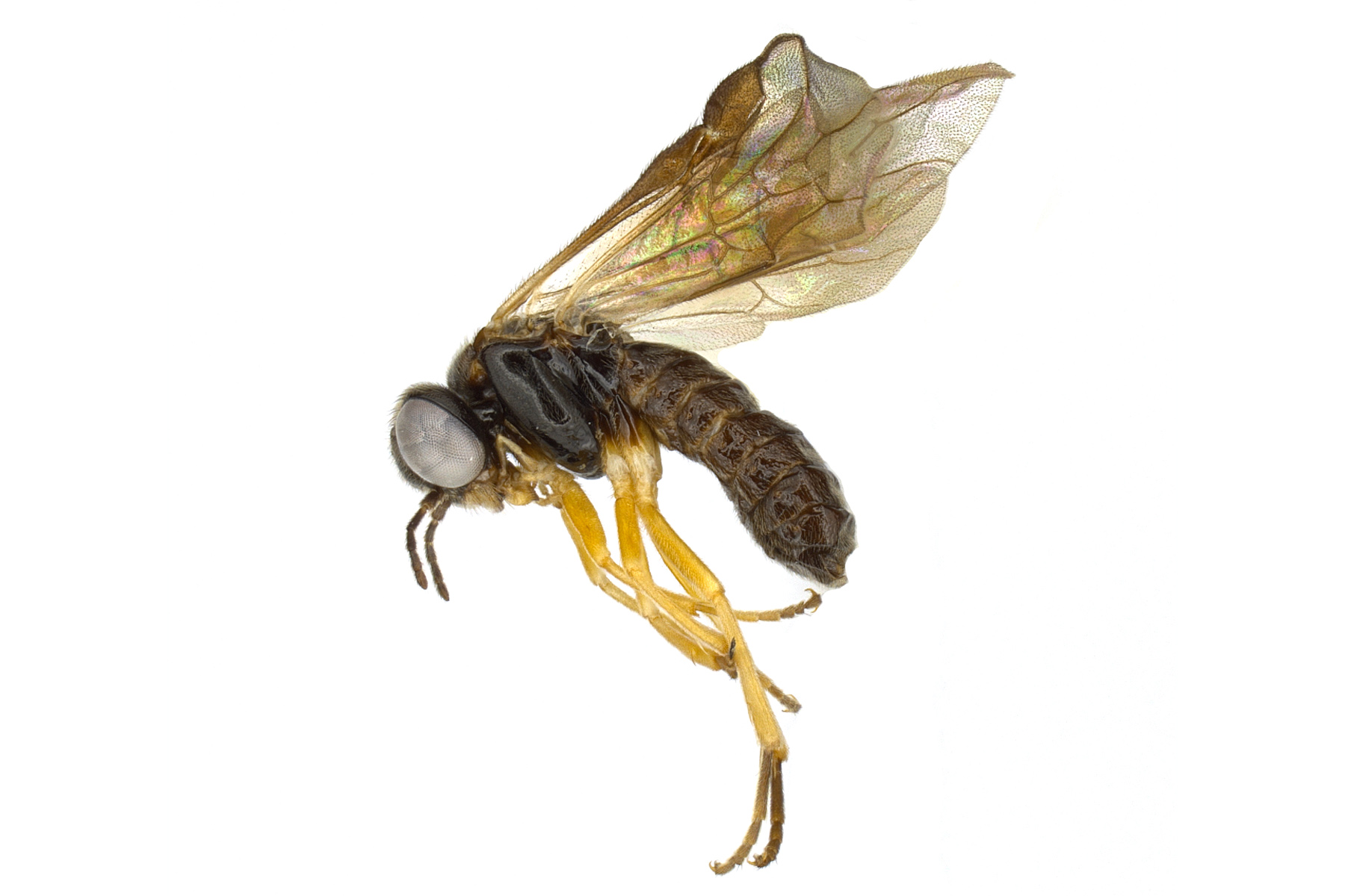 <em>Acordulecera dorsalis </em>male lateral habitus; photo by J. Orr, WSDA