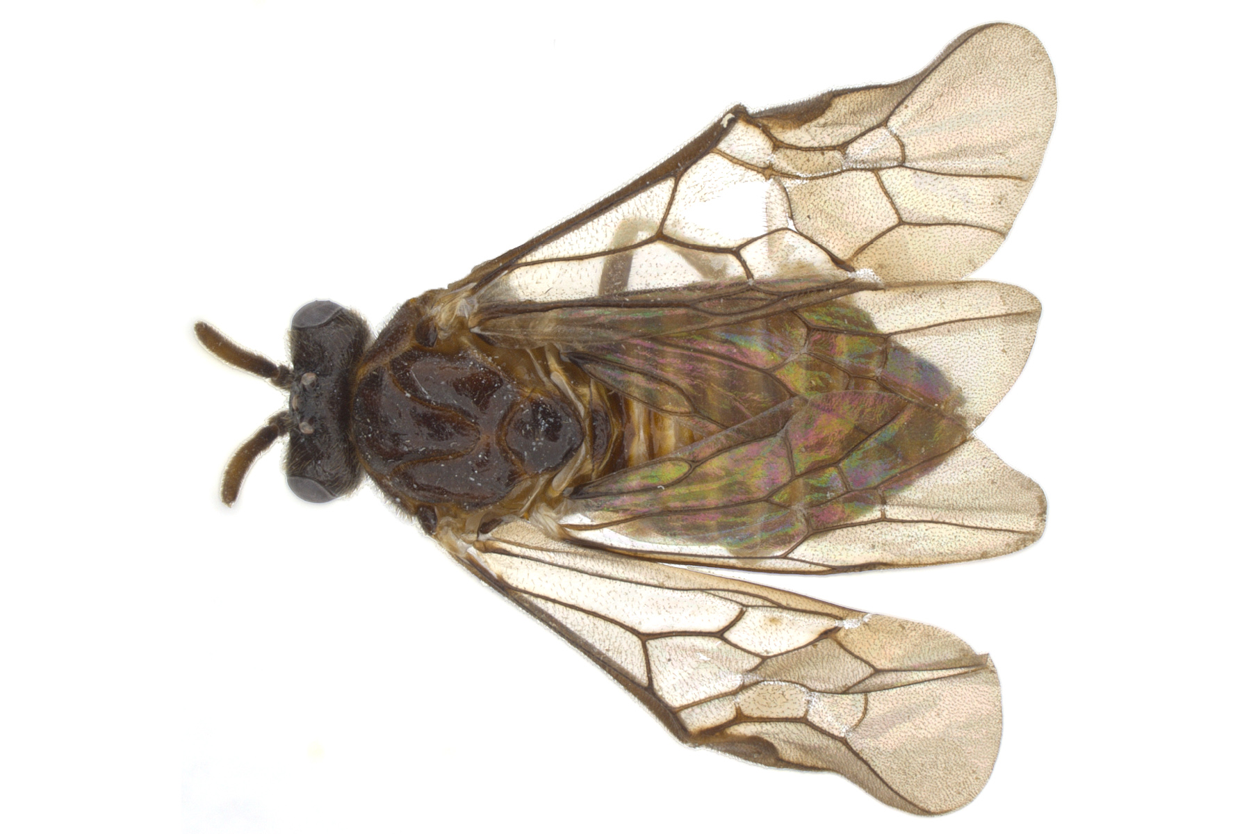 <em>Aprosthema</em> sp. female dorsal habitus; photo by J. Orr, WSDA