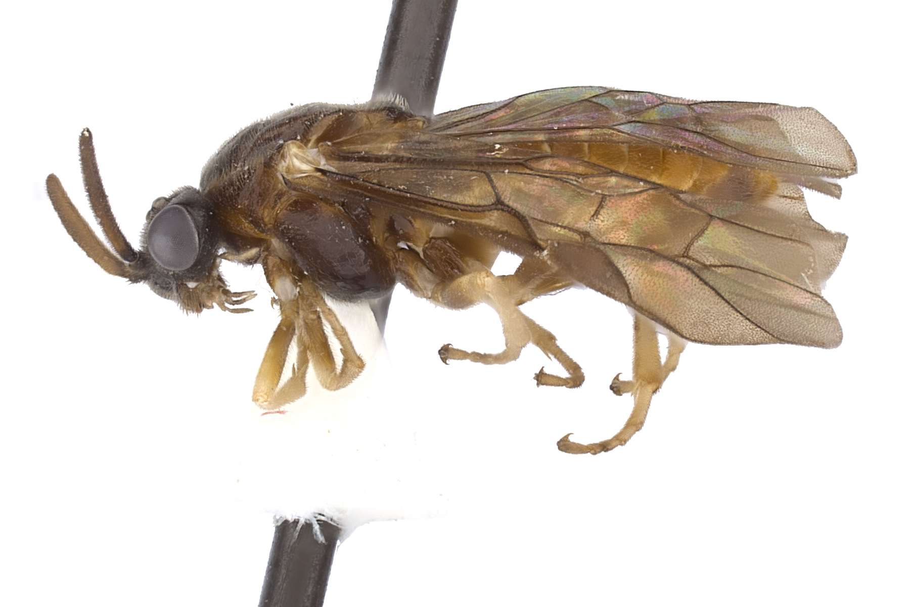 <em>Aprosthema</em> sp. female lateral habitus; photo by J. Orr, WSDA