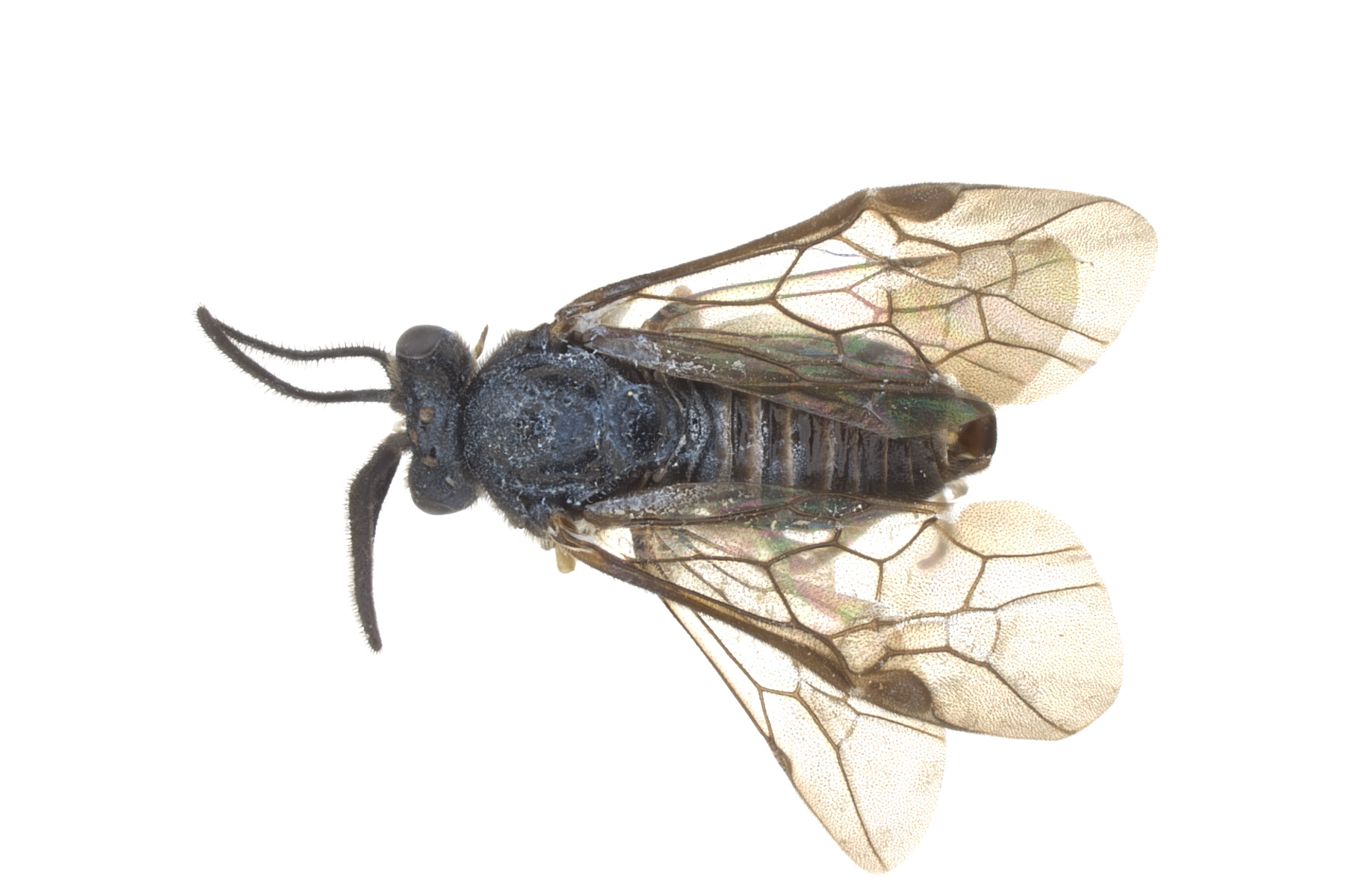 <em>Aprosthema</em> sp. male dorsal habitus; photo by J. Orr, WSDA