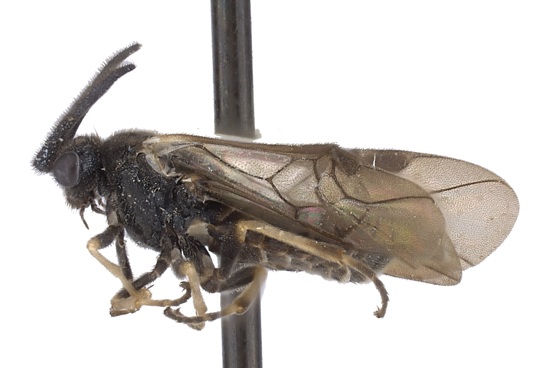 <em>Aprosthema</em> sp. male lateral habitus; photo by J. Orr, WSDA