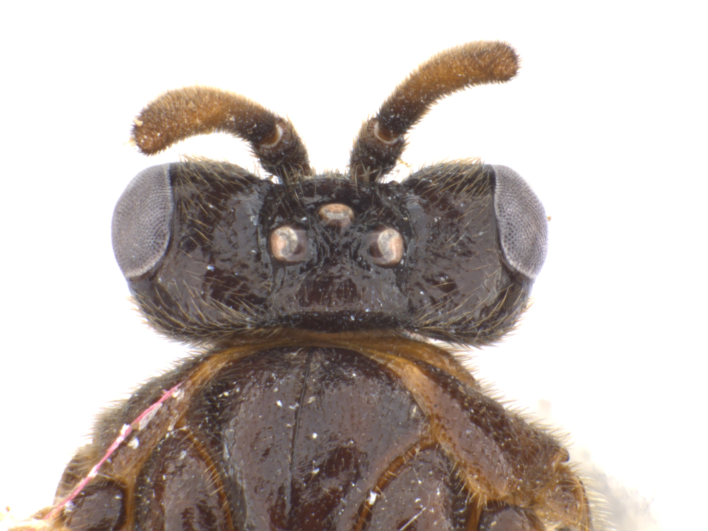 <em>Aprosthema</em> sp. female dorsal view of head and partial thorax; photo by J. Orr, WSDA