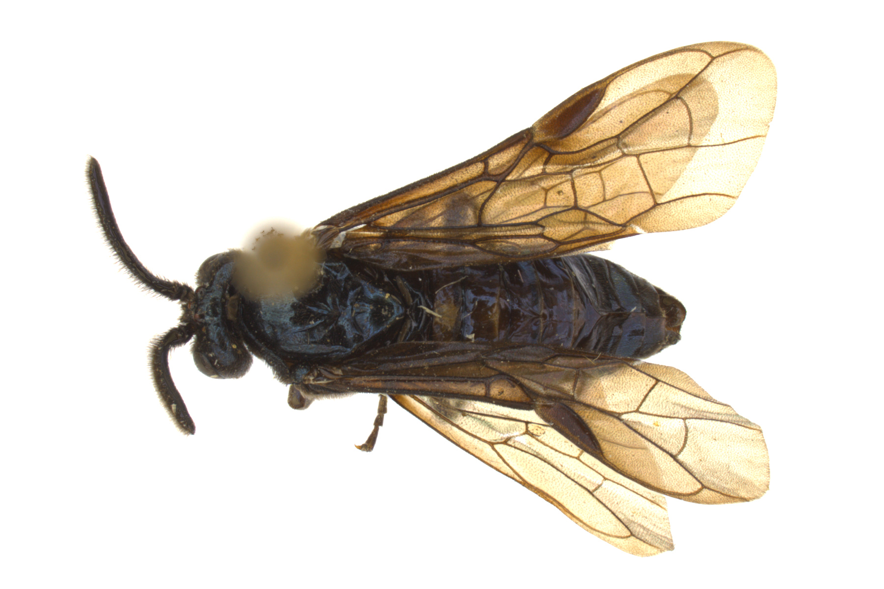 <em>Arge</em> sp. male dorsal habitus; photo by J. Orr, WSDA
