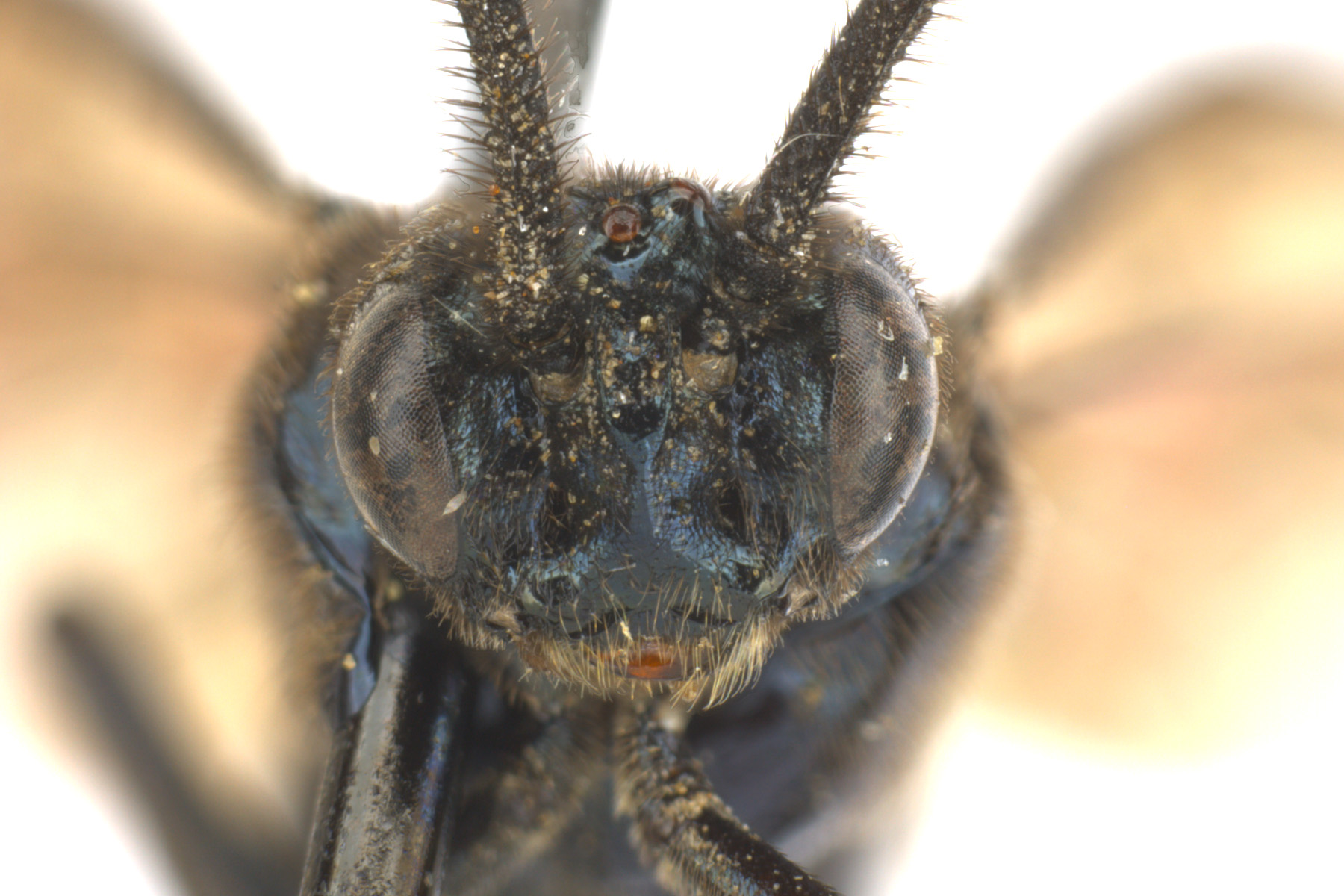 <em>Arge</em> sp. male face; photo by J. Orr, WSDA