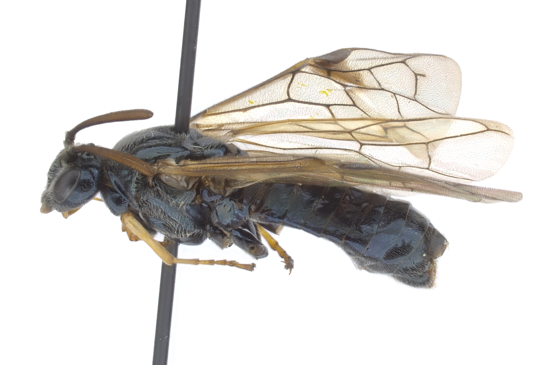 <em>Arge </em>sp. female lateral habitus; photo by J. Orr, WSDA