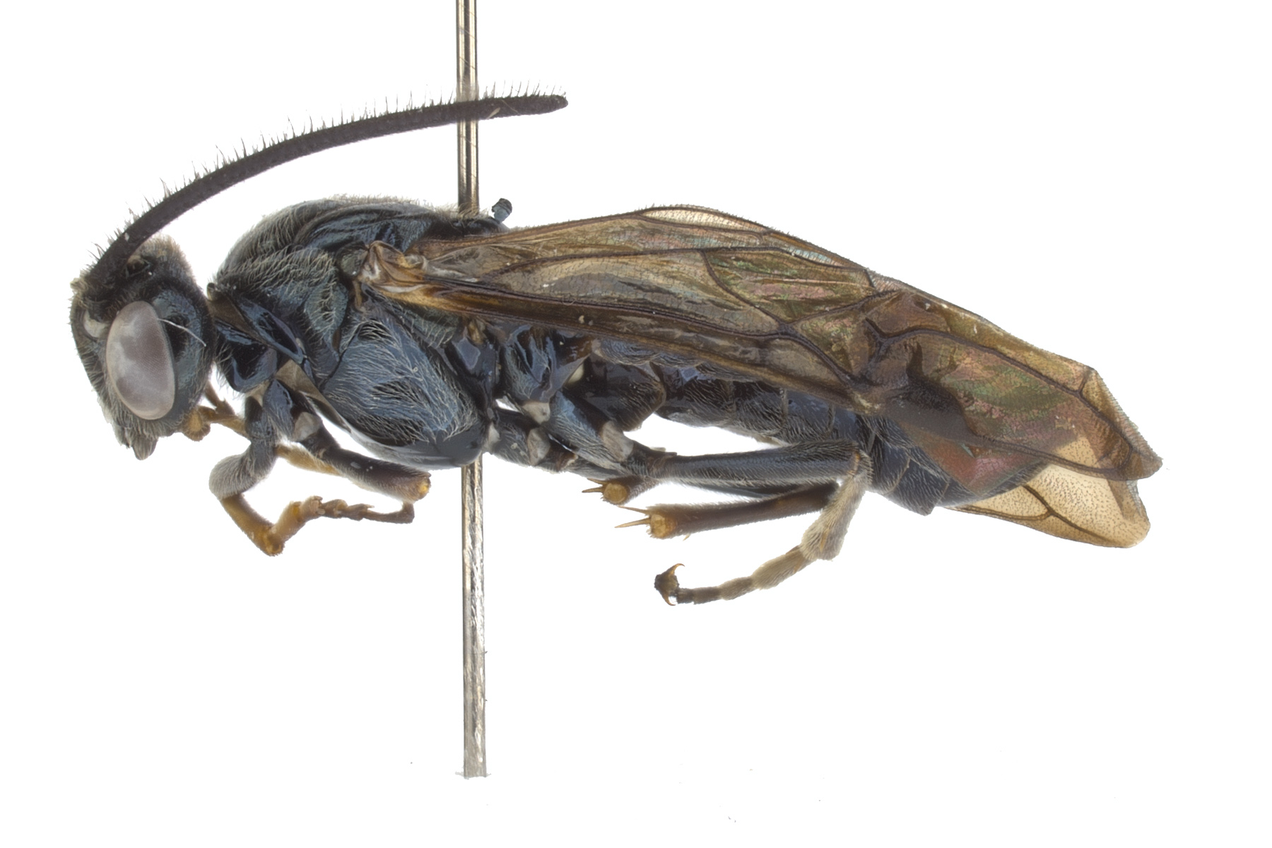 <em>Arge</em> sp. male lateral habitus; photo by J. Orr, WSDA