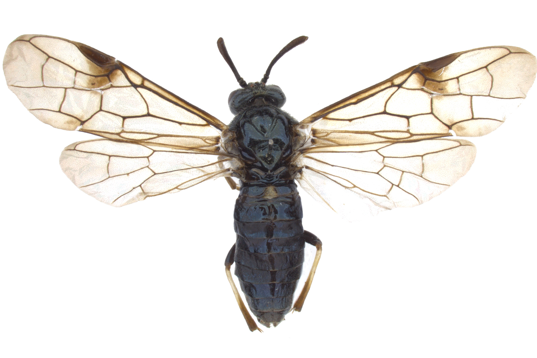<em>Arge sparta</em> female dorsal habitus; photo by J. Orr, WSDA