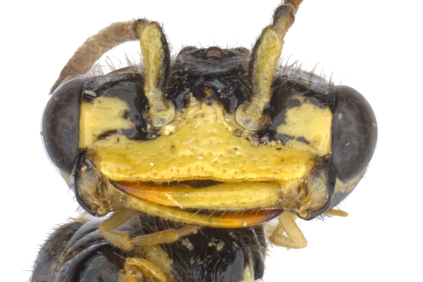 Pamphilius sp. male face; photo by J. Orr, WSDA