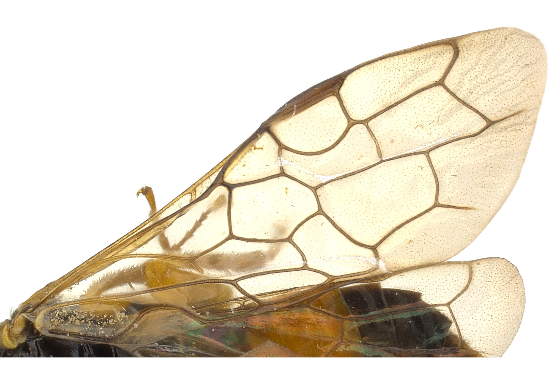 Pamphilius sp. fore wing; photo by J. Orr, WSDA
