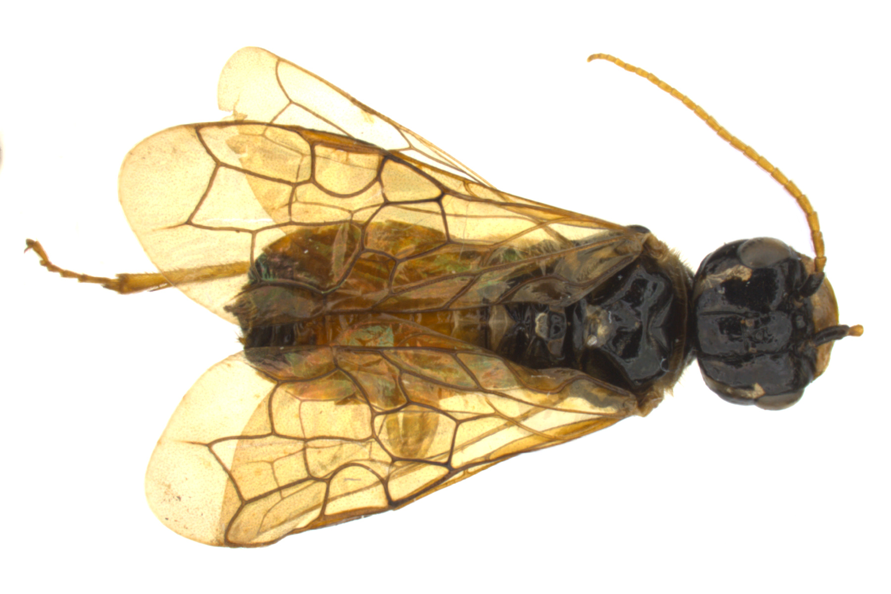 Pamphilius pacificus female dorsal habitus; photo by J. Orr, WSDA