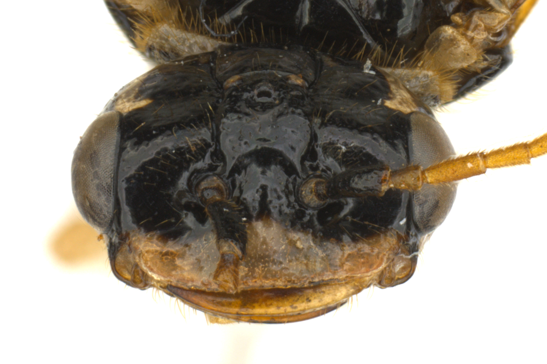 Pamphilius pacificus female face; photo by J. Orr, WSDA