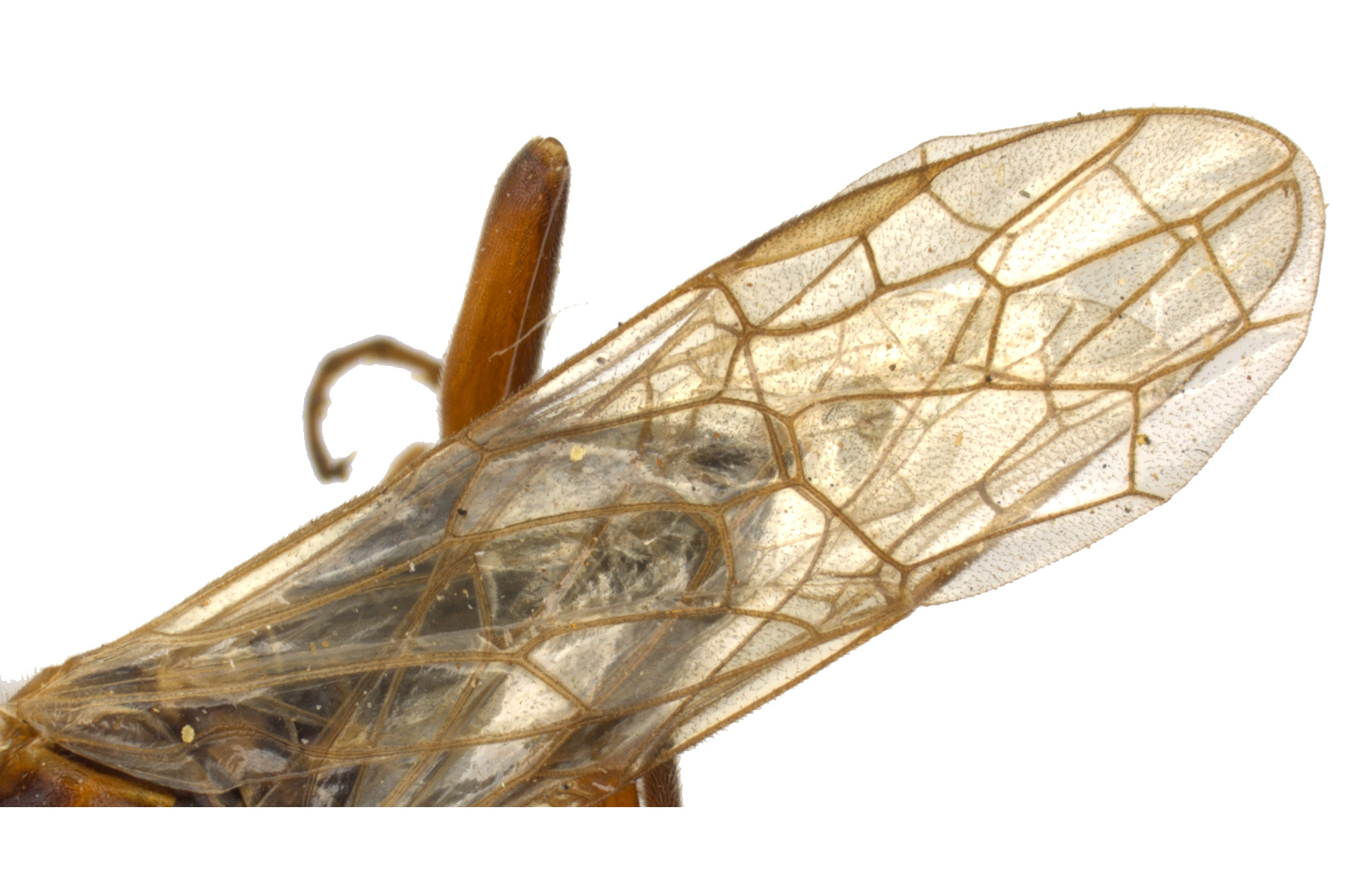 Xyelecia nearctica fore wing; photo by J. Orr, WSDA