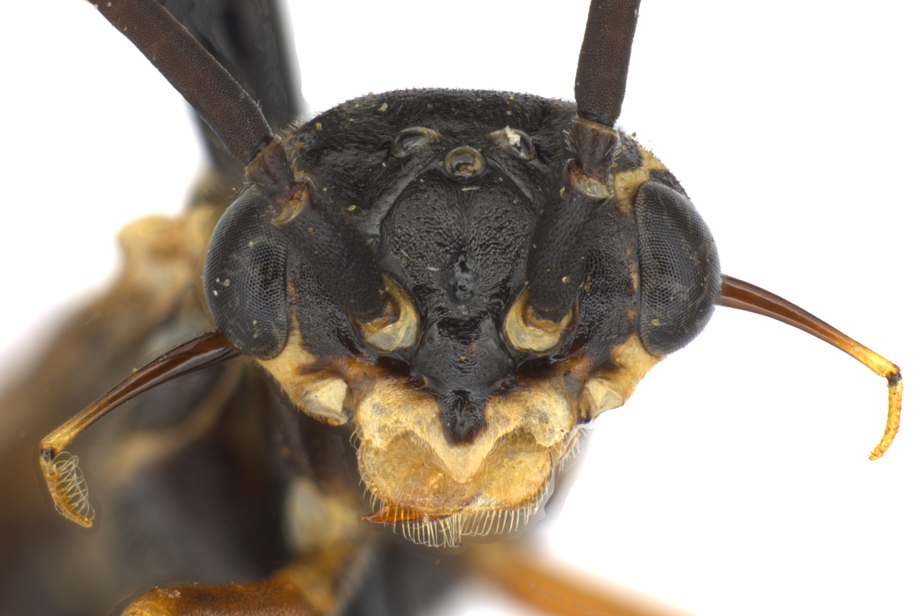 Xyelecia nearctica male face; photo by J. Orr, WSDA